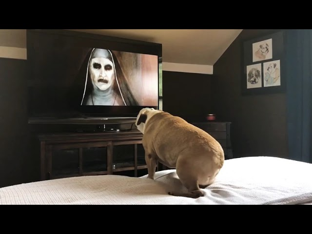 Bulldog's Reaction To The Nun Trailer