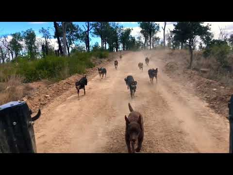 A pack of Australian Working Kelpies racing through the Australian Bush.