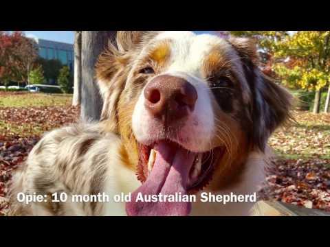 Opie: Red Merle Australian Shepherd
