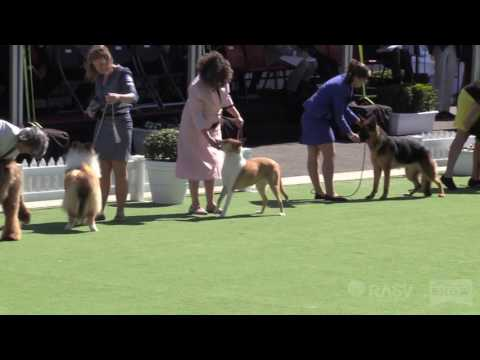 Working Dogs (group 5)- General Specials Day - Royal Melbourne Show All Breeds Championship Dog Show
