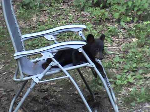 Playful black bear cub playing in my chair