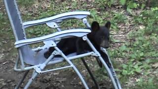 Playful black bear cub playing in my chair