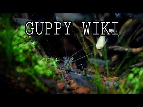 GUPPY FISH: AQUARIUM CARE & GUIDE