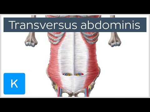 Transversus Abdominis Muscle: Function & Origins Human Anatomy |Kenhub