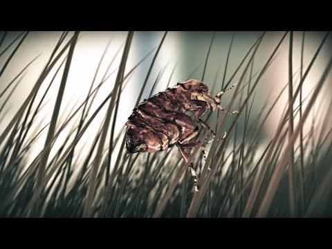 Ciclo vital de la pulga - Ceva Salud Animal
