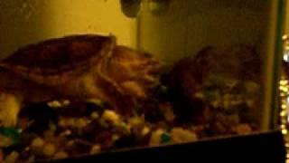snapper vs crawfish 001