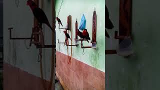 Kicauan Nuri kepala hitam asli papua