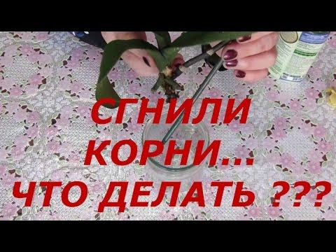 Реанимация Орхидеи / Сгнившие Корни / Надо Срочно Спасать. Не хватает опыта.