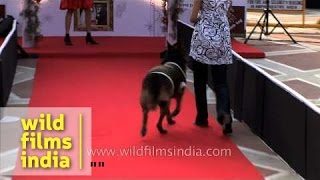 Pug And German Shepherd Walk On Red Carpet - Delhi