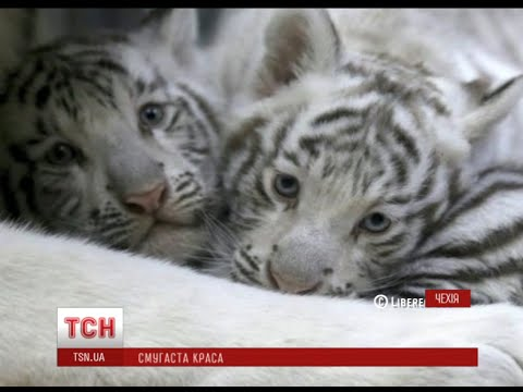 Тигр. Тигры. Всё о тиграх.