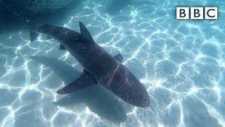 'Sharks everywhere': Angler captures feeding frenzy - BBC