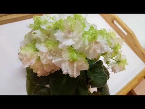 АВ Лайм Первое цветение молодой розетки