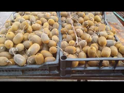Kako dobiti sadnicu kivija iz zrelog ploda