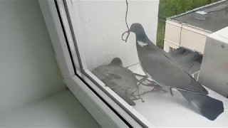 Лесной голубь (вяхирь) вьет гнездо