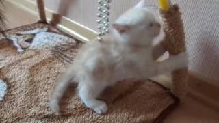 котенок мраморенок