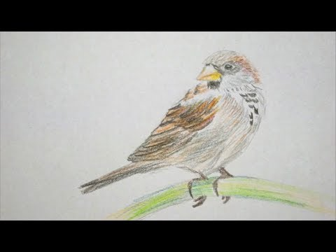 Spatz Zeichnen Lernen Vogel Malen How To Draw Sparrow Bird