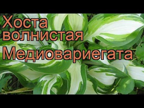 Хоста волнистая Медиовариегата (mediovariegata) 🌿 обзор: как сажать, рассада хосты Медиовариегата