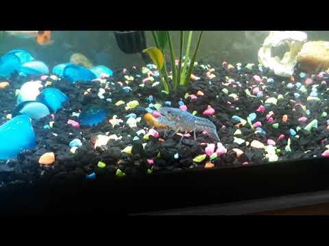 My New Electric Blue Crayfish