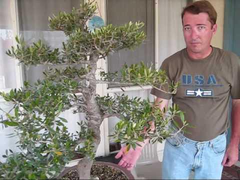 Olive Tree Bonsai Youtube