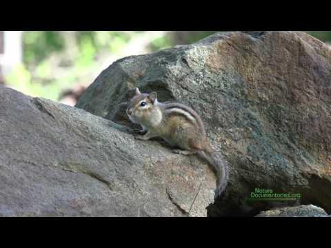 A Chipmunk in Harvard Forest