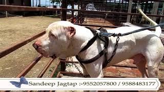 जगताप डॉग केनेल इंदापूर पुणे Jagtap Dog Kennel At Indapur Pune