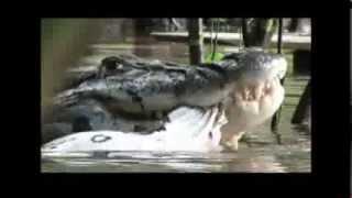 Jacaré Gigante devorando sucuri no Rio Guaporé em Rondônia