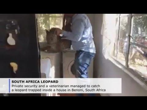 Sacan un leopardo dun cuarto de lavandería nos arredores de Johannesburgo