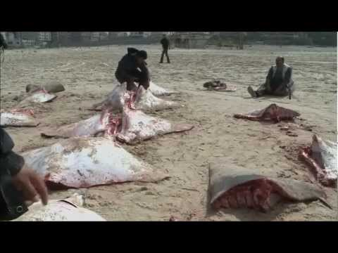 HUNDREDS OF DEAD MOBULA RAYS 17FT IN LENGTH WASH UP ON GAZA SHORES WEDNESDAY (FEB 28, 2013)