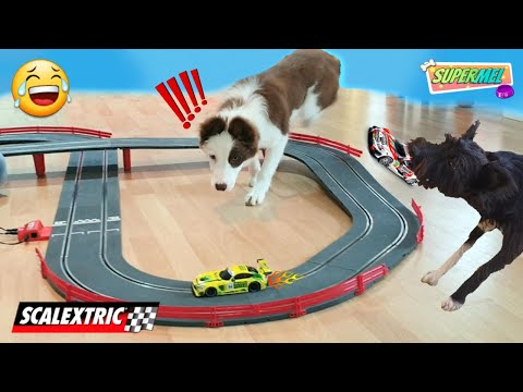 DOGS REACTS TO SCALEXTRIC / BEST REACTION EVER! Puppy Border Collie