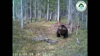 Медведь после спячки  Заповедник Костомукшский  Весна 2016