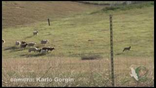 Sheep chasing Coyote