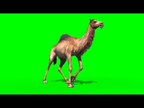 Green Screen Camel Dromedary Animals - Footage PixelBoom