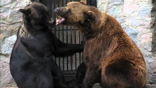 Брачные игры медведей The marriage games of bears