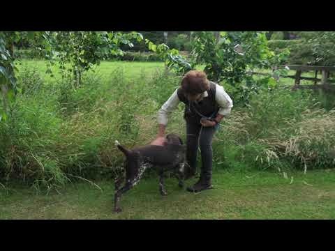 Search Whistle Training for German shorthaired pointer