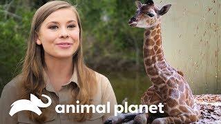 Los primeros días de la jirafa Sophie   Los Irwin   Animal Planet