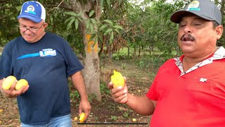 Temporada de mangos en Nayarit
