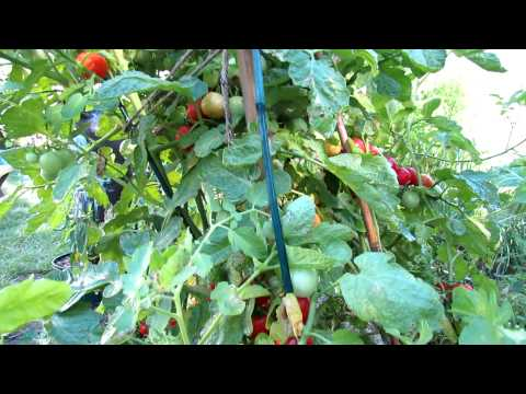 Baxter's Bush Cherry Tomato: The Ultimate Cherry Container Tomato
