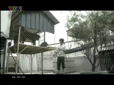 Trại chó ngao tây tạng Phượng Hoàng trên VTV1 - Kiều Văn Hoàng 0986891891
