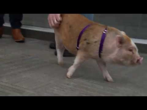 Long Island Company's Pet Policy Now Includes Pigs