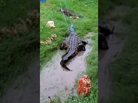 Crocodile in greater portmore