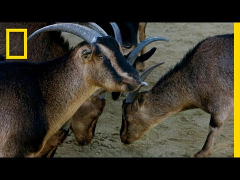 Why Do Goat Eyes Rotate? | Explorer