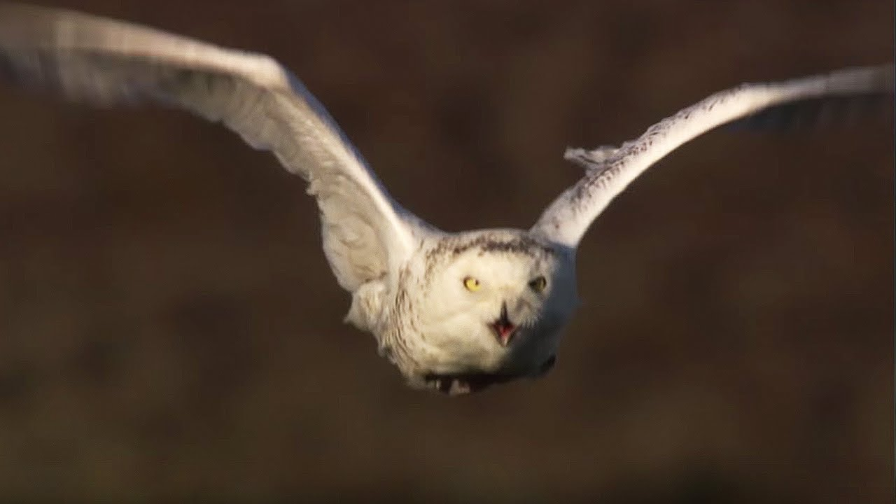 master of the sky owl vs wolf super powered owls bbc youtube