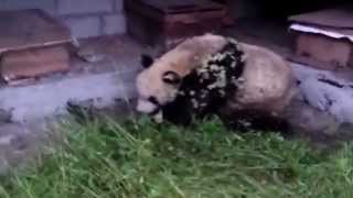 Video footage captures panda raiding bee farm in hunt for honey