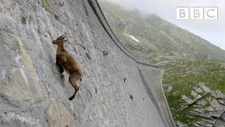The incredible ibex defies gravity and climbs a dam | Forces of Nature with Brian Cox  BBC