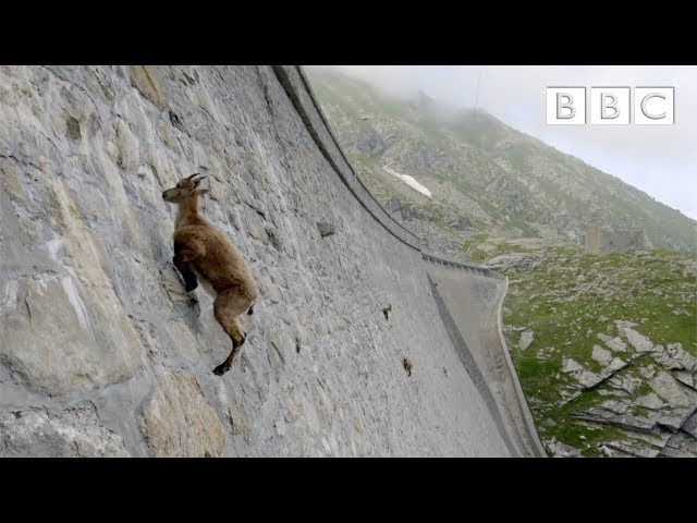 The incredible ibex defies gravity and climbs a vertical dam