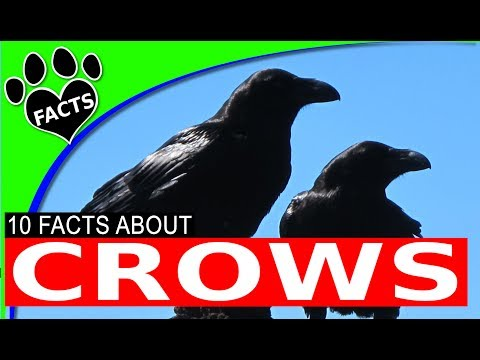 10 Facts About Crows and Ravens Birds of Intelligence Mythology #crow #bird
