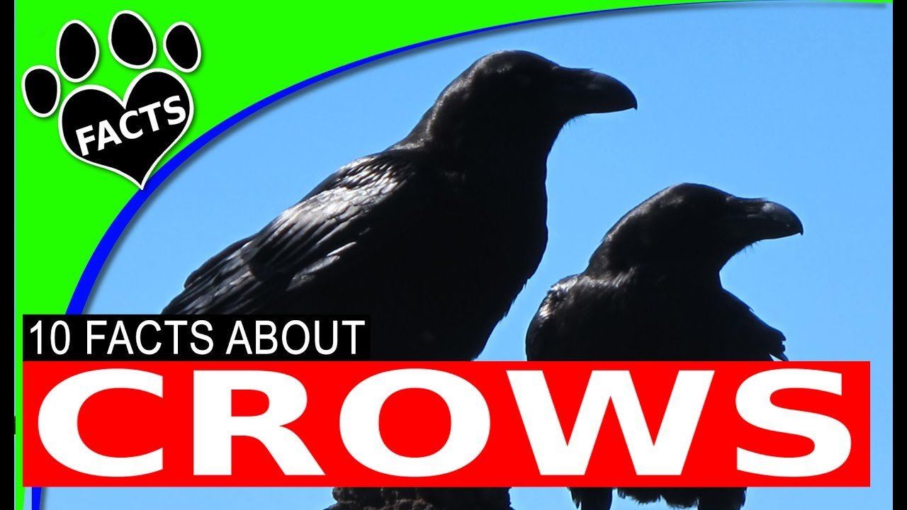 10 Fun Facts About Crows  - Intelligence - Animal Facts