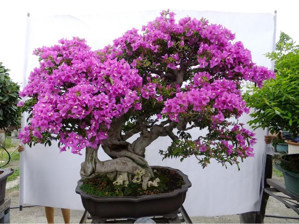 Bonsai bougainvillea 1 youtube for Bonsais de interior
