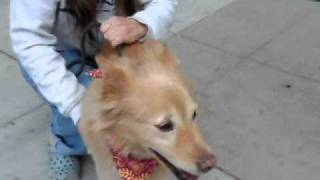 Adopted - Kira - Beautiful Golden Retriever / Border Collie Mix Small And Sweet Needs Home Urgently