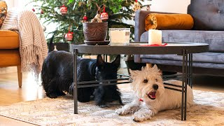 Westie and Scottish Terrier Playing  Black and White